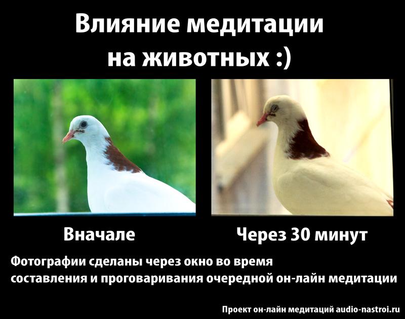 Влияние медитации на животных :)